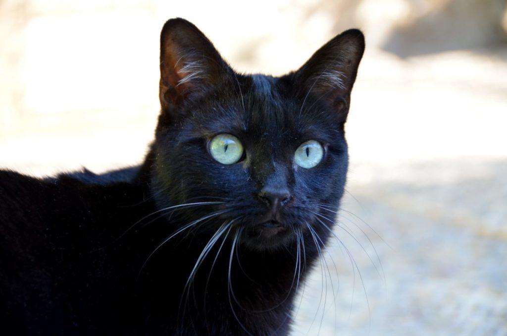 gato-adopta